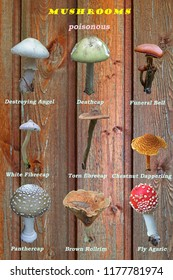 Collage with poisonous mushrooms. A visual aid for schoolchildren.