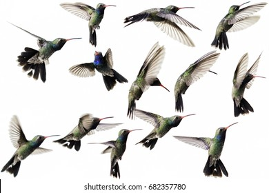 Collage of thirteen flying hummingbirds on white background.