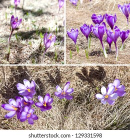 Collage of three images with spring crocuses in grass.
