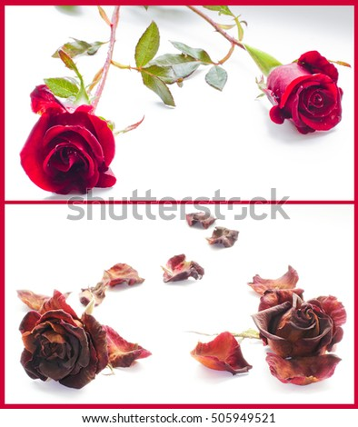 Collage two photos life death red stock photo edit now 505949521 a collage of two photos life and death red roses on white mightylinksfo