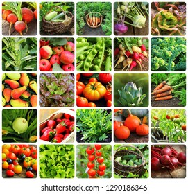 Collage of vegetables - products of vegetable garden. Healthy eating consept. Gardening background .