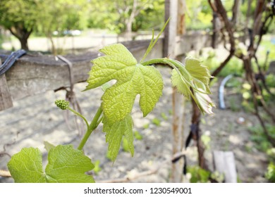 Collage of vine leaves on garden background