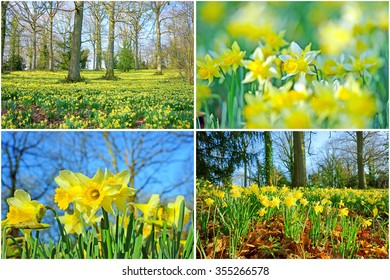 A collage of wild daffodils,Narcissus pseudonarcissus, with selective/soft focus and a woodland full of English Oak trees in spring near to Dymock, The Royal Forest of Dean, Gloucestershire, U K