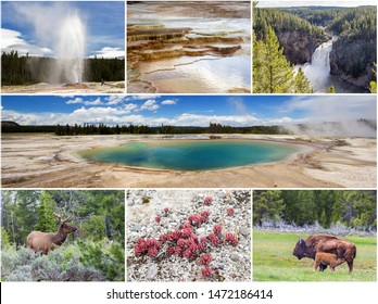 Collage of Yellowstone National Park with feature of fauna, flora and terra