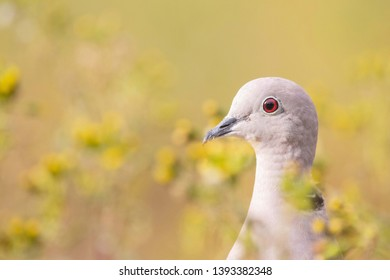 a collard dove looking very proud