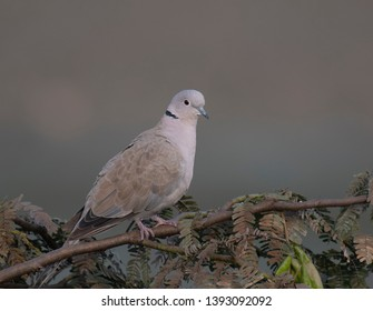 Collard dove perching in tree at sunrise