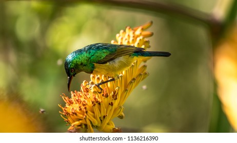 Collard sunbird on allow bloom