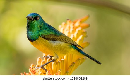 Collard Sunbird from South Africa on a yellow aloe bloom.