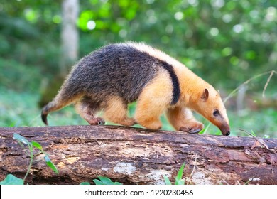 Collared anteater, Tamandua tetradactyla looking for insects to feed on in the subtropical rainforest of Argentina, wild habitat