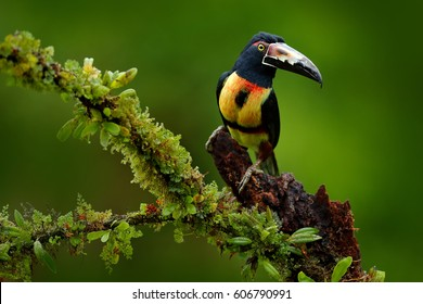 Collared Aracari, Pteroglossus torquatus, bird with big bill. Toucan sitting on the nice branch in the forest, Boca Tapada, Laguna de Lagarto Lodge, Costa Rica. Traveling in central America.