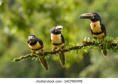Collared Aracari (Pteroglossus torquatus) - Come Closer