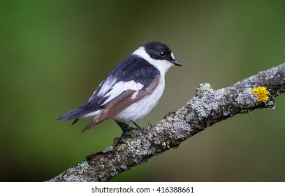 The Collared Flycatcher