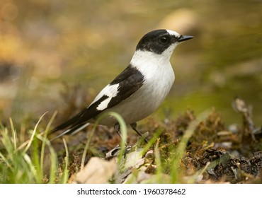 collared flycatcher passing  in the woods in spring