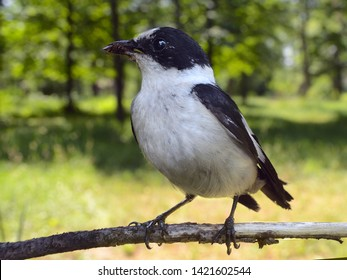 Collared Flycatcher perched on bracnh (Ficedula albicollis)