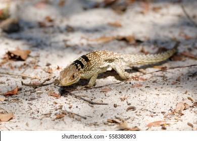 collared iguanid lizard, collared iguana, or Madagascan collared iguana (Oplurus cuvieri). Ankarafantsika National Park, Madagascar wildlife and wilderness