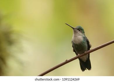 Collared Inca Hummingbird - On a Perch