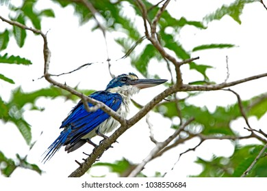 Collared kingfisher in nature