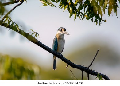 The collared kingfisher (Todiramphus chloris) is a medium-sized kingfisher belonging to the subfamily Halcyoninae, the tree kingfishers. It is also known as the white-collared kingfisher.