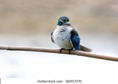 The Collared Kingfisher (Todiramphus chloris) is a medium-sized kingfisher belonging to the family Halcyonidae, the tree kingfishers that known as the White-collared Kingfisher, Mangrove Kingfisher.