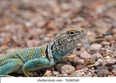 Collared lizard - Crotaphytus collaris