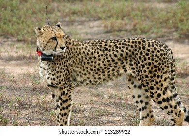 A collared male cheetah, Africat foundation, Okonjima, Namiba. The Africat foundation rescues large predators and rehabilitates them with a view to releasing back into the wild