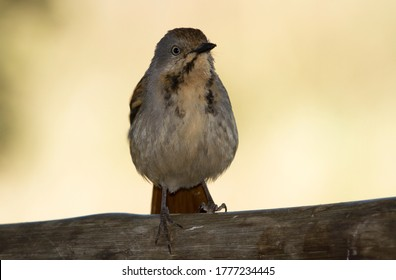 The Collared Palm-Thrush is very particular to riverine areas where there are plenty of palm tree stands.They are very territorial and have a powerful melodious song