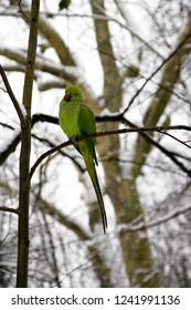 Collared parakeet in winter (Near Paris France)