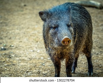 The collared peccary Pecari tajacu is a species of mammal in the family Tayassuidae found in North, Central, and South America. They are commonly referred to as javelina, saíno or báquiro