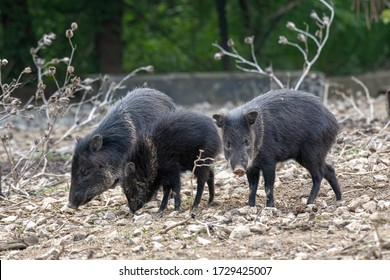 The collared peccary (Pecari tajacu) is a species of mammal in the family Tayassuidae found in North, Central, and South America.