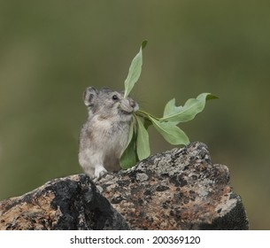 Collared Pica (Ochotona collaris) is a small lagomorph that lives in boulder fields in Denali National Park, Alaska. The Pica does not hibernate, but collects and stores food for winter all summer.