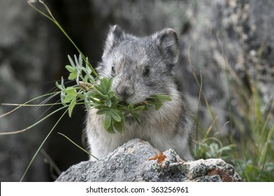 A Collared Pika (Ochotona collaris) lives among boulders fields in Denali National Park, Alaska. Pikas do not hibernate so must gather vegetation to store for winter consumption.