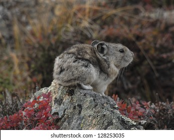 Collared Pika (Ochotona collaris) is a small lagomorph that lives in boulder fields in Denali National Park, Alaska.
