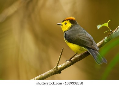 Collared Redstart Whitestart - Myioborus torquatus also known as the collared redstart, is a tropical New World warbler endemic to the mountains of Costa Rica and western-central Panama.