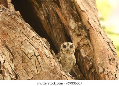 Collared Scops Owl resting on tree branch in ranthambhore national park