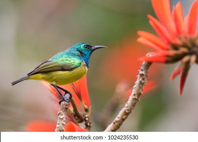 Collared Sunbird in a garden in St-Lucia, South Africa.