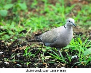 Collared turtle dove (Streptopelia decaocto) feeding on the lawn. Caucasus.