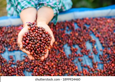Collected raw coffee beans from the red bean coffee plant by hand in nature.