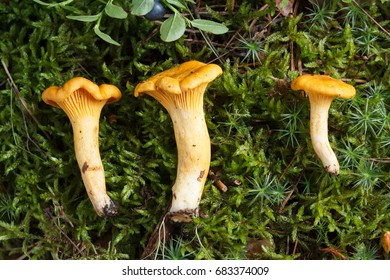 Collecting chanterelle mushroom in the forest. chanterelle in moss with green background. Food.