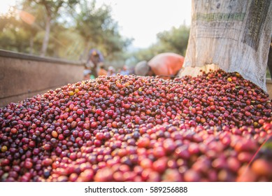 Collecting coffee beans