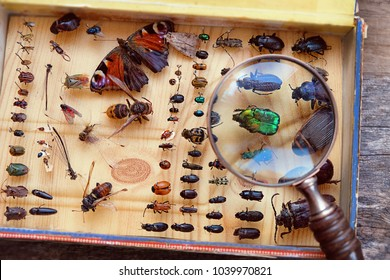 Collecting insects with pins and magnifying glass. Amateur or school homemade insect collection. Collection of insects entomologist. soft focus