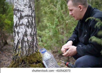 Collecting juice from birch tree