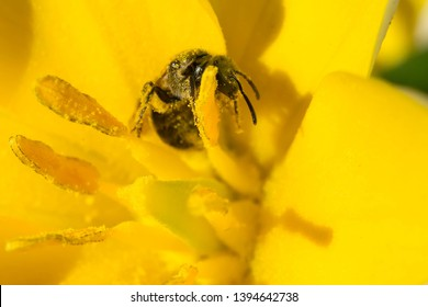 A  is collecting nectar from a yellow flower and is covered in pollen. Stan Wadlow Park, Toronto, Ontario, Canada.
