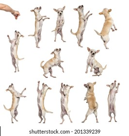 Collection of 12 Chihuahuas, differents position, isolated on white