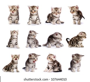 collection of American Short hair cat kitten isolated on white background