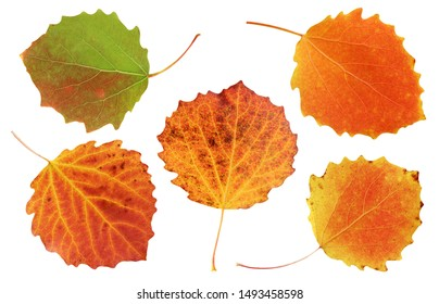 collection of autumn aspen leaves isolated on white background. autumn red and orange foliage. herbarium.