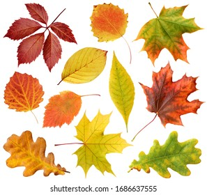 collection of autumn leaves isolated on a white background with clipping path. leaf of oak, maple, hawthorn, aspen. red and yellow foliage. herbarium.