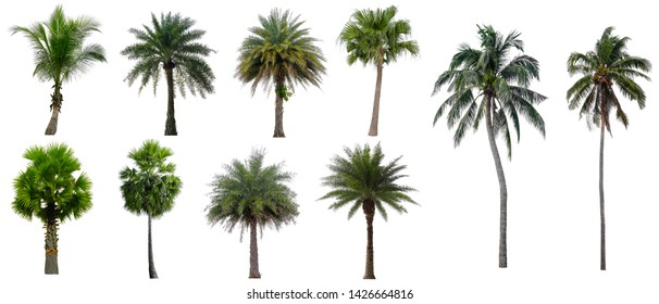 Collection Beautiful coconut and palm trees Isolated on white background , Suitable for use in architectural design , Decoration work , Used with natural articles both on print and website.