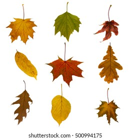 Collection of beautiful, colorful autumn leaves of different types, isolated on white background.