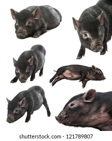 collection of a black farm pig