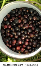 collection blackcurrant